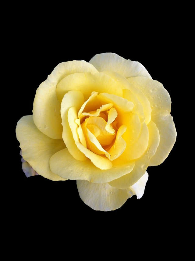 Roses-Batch-1-